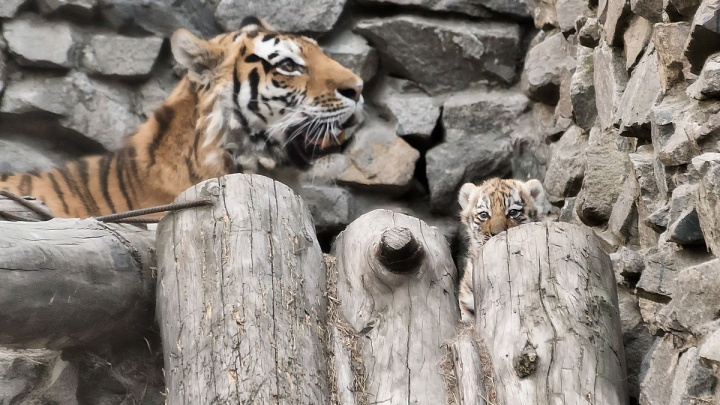 Редкие полосатые котята появились на публике в Новосибирском зоопарке