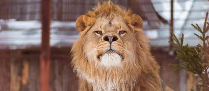 Догонялки, весенняя дремота и зверский аппетит: как обитатели пермского зоопарка готовятся к весне