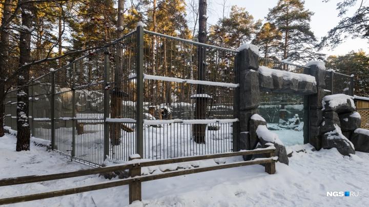 В новосибирском зоопарке закончилась реконструкция вольеров для львов и тигров