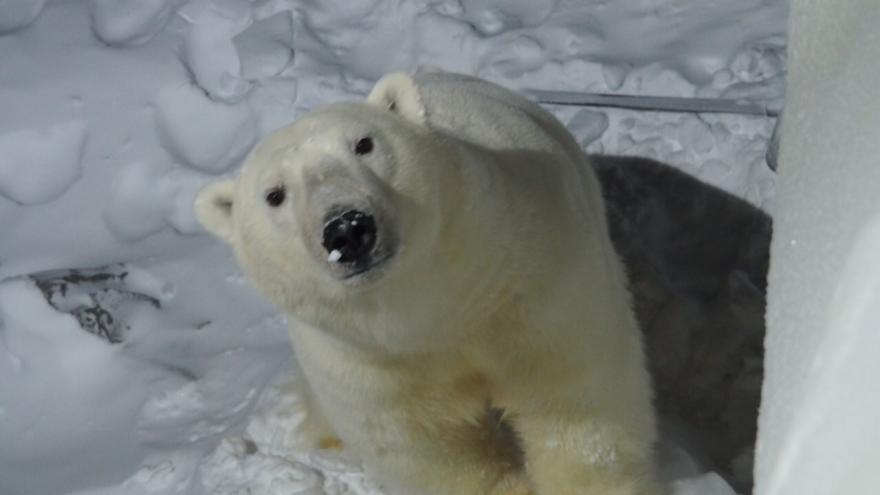 «Попытался заглянуть в окно»: по крыше базы архангельских ученых в Арктике прогулялся белый медведь