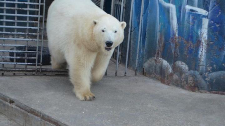 Белая медведица Милка готовится стать мамой. В пермском зоопарке ей построили уютную берлогу