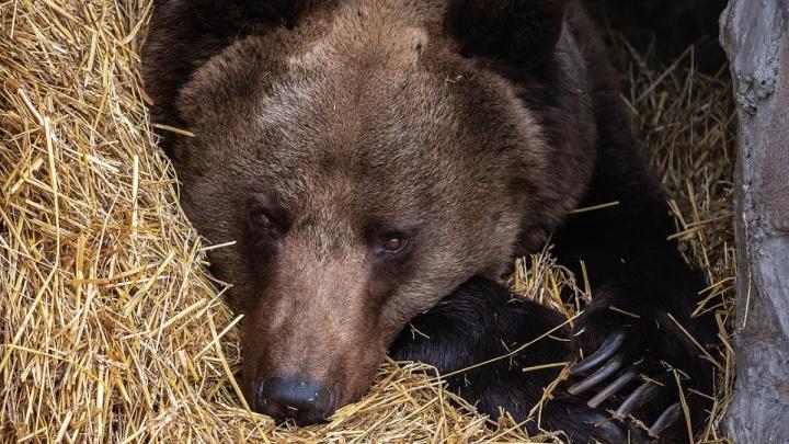 Огромный медведь выскочил на трассу перед адвокатом