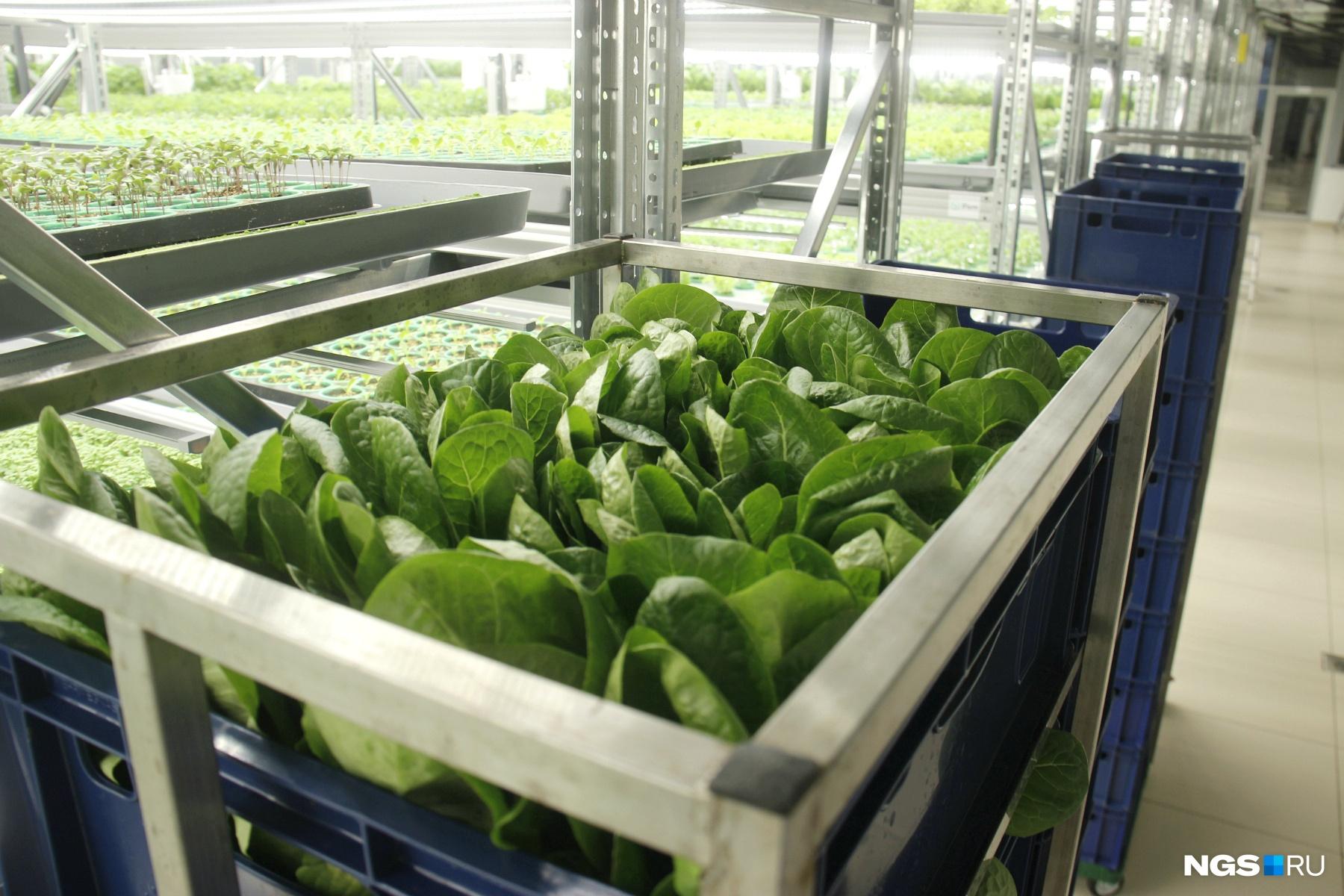 Пока в Москве не запустили подобные фермы, салаты приходится возить в столичную «Азбуку вкуса» самолётами