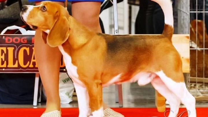 Верните Ирвина Ялома: в Екатеринбурге заводчица потеряла дорогого титулованного пса редкой породы