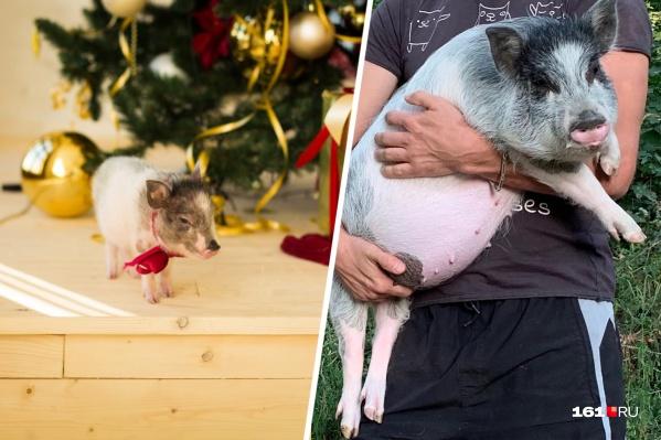 Убежавшая и счастливо нашедшаяся карликовая свинка Ася с разницей примерно в год