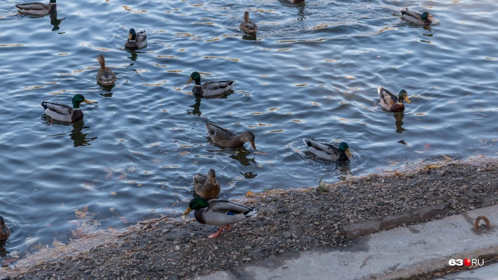В парке Металлургов усилятпатрулирование после нападения на утку