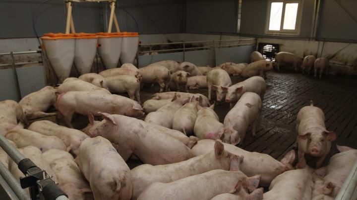 Ветеринар Курганского свиноводческого комплекса получила сотрясение мозга на рабочем месте