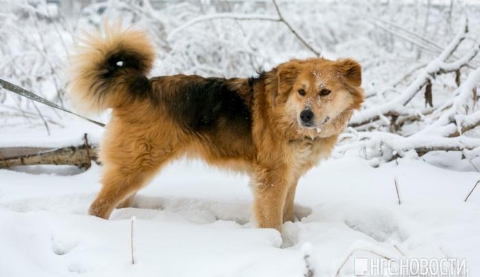 В Красноярске решили пересчитать бездомных собак и выделили на это 100 тысяч