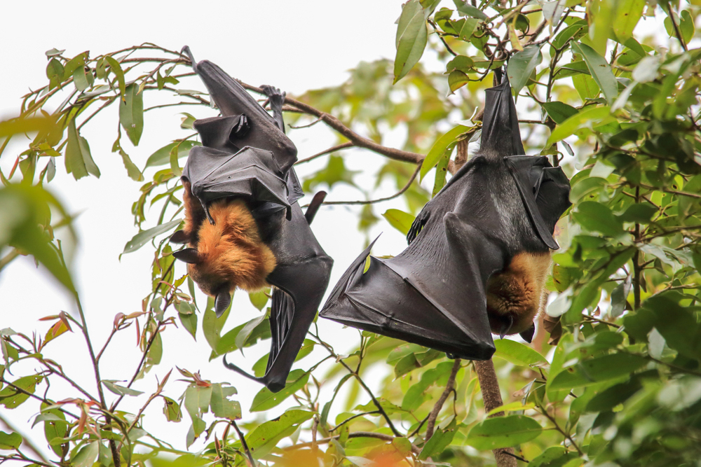Летучие мыши живут не в лесах, а на чердаках