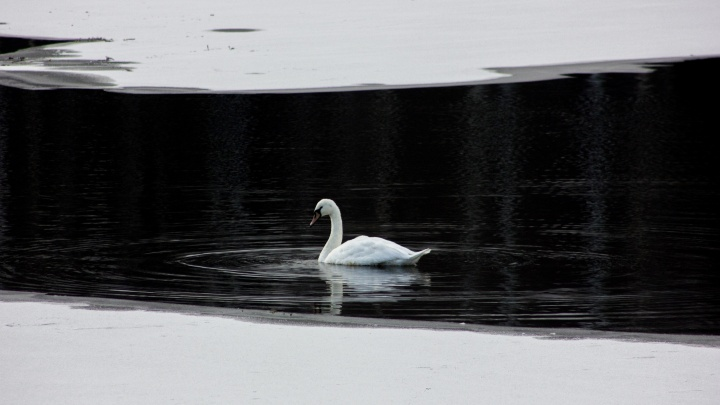 Жители Мирного обеспокоены судьбой лебедя, который несколько дней не улетает с замерзающего озера