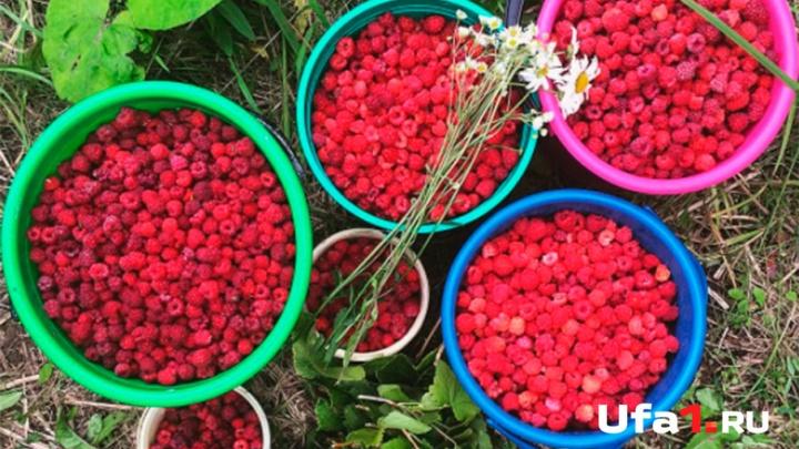 Уфимцев приглашают по ягоды