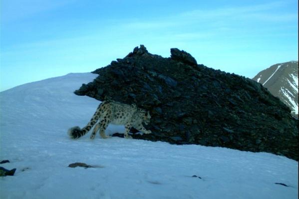 Снежный барс по кличке Хоргай