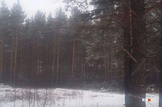 Лес начали вырубать в середине марта, но не вывозят —брёвна занесло снегом