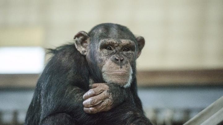 Ростовский зоопарк планирует пополнить свою коллекцию приматом