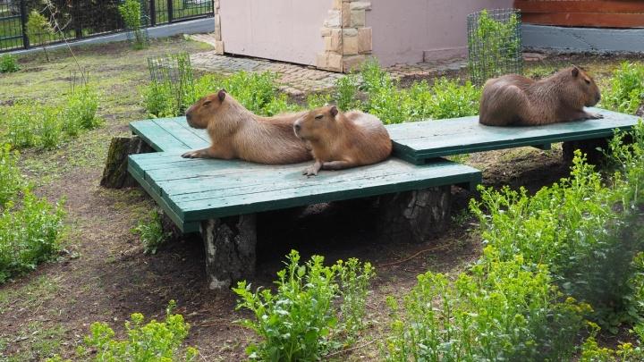 Теплолюбивых капибар и игривых обезьянок из зоопарка переселили в уличные вольеры