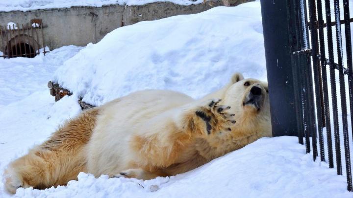 Белой медведице из Большереченского зоопарка на 30-й день рождения подарили торт из рыбы