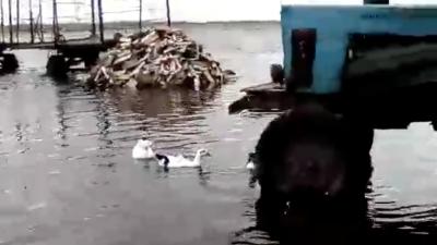 В затопленном омском поселке утки плавают прямо по улицам. Их сняли на видео