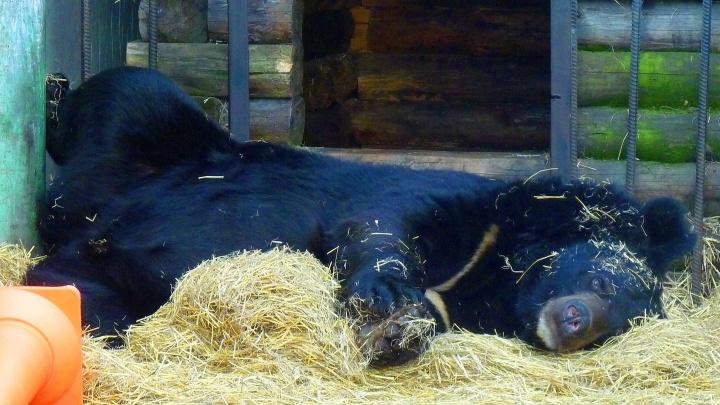 Спать хочется: Большереченский зоопарк показал фото сонных медведей