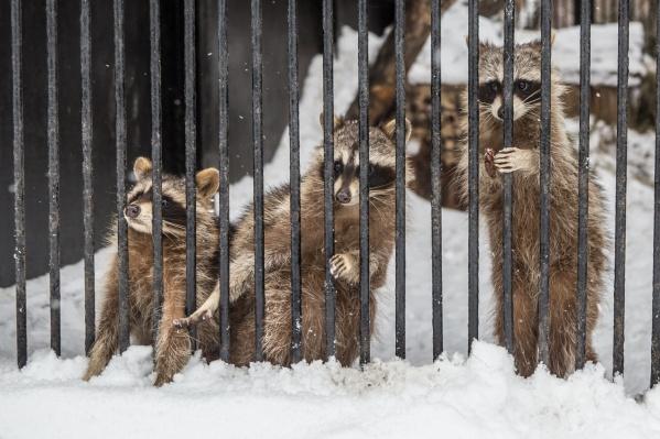 Минус 20 наступили как-то слишком быстро — еноты тоже еще не переключились на зимний режим