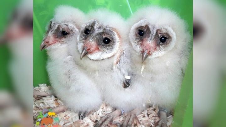 В ярославском зоопарке вылупились птенцы с мордочками в форме сердец