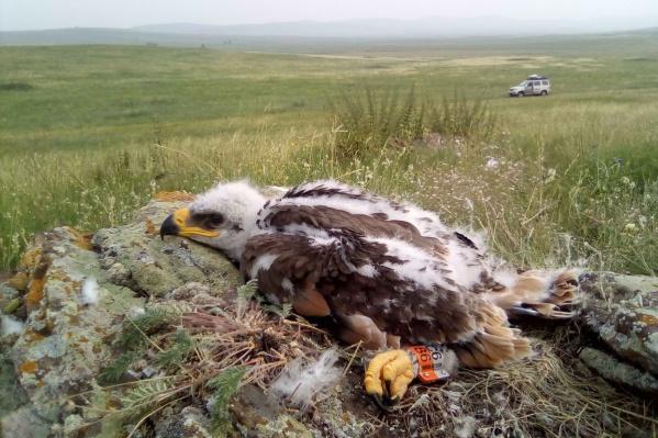 Программа поустановке трекеров наптиц действует уже нескольколет. Местоположение птиц отслеживают поСМС. Этонеобходимо для изучения основных путей миграции орлов ивыявления угроз наихпути