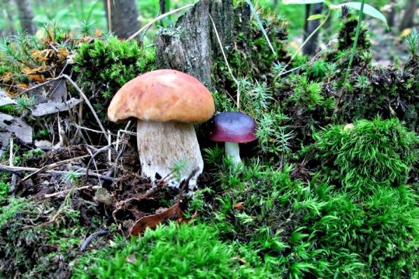 Тюменцам советуют не собирать и не покупать на рынке переросшие, дряблые, поврежденные личинками и плесенью грибы
