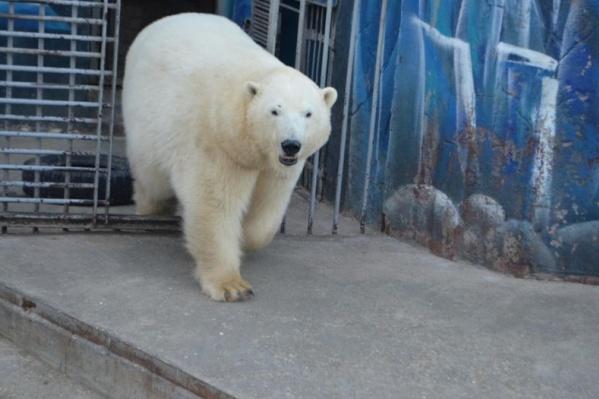 В семействе белых медведей ожидается пополнение