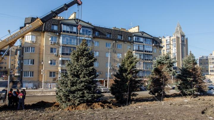 «Растягиваем, чтобы ветер не унес»: в Волгограде выкопанные елки «прописали» в английском квартале