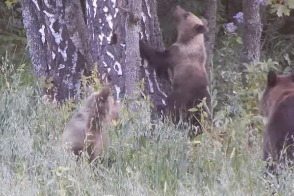 Причину медвежьего нашествия объяснил специалист