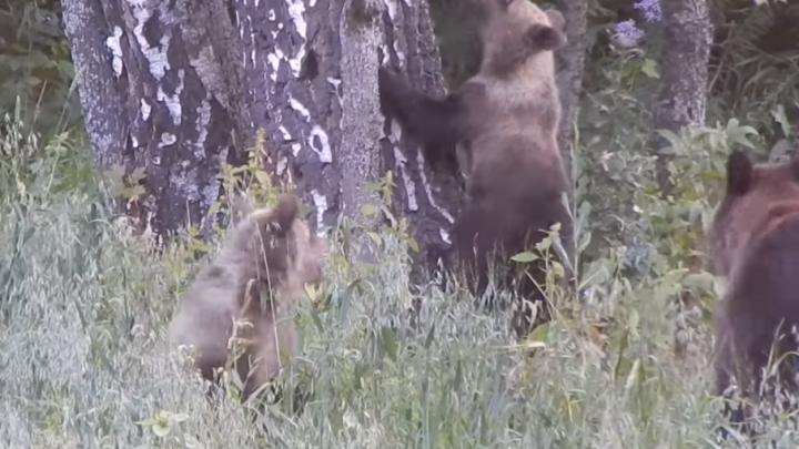 В национальном парке «Башкирия» заметили медведей-гастролеров