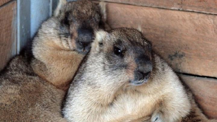 В самарском зоопарке сурки не стали предсказывать наступление весны