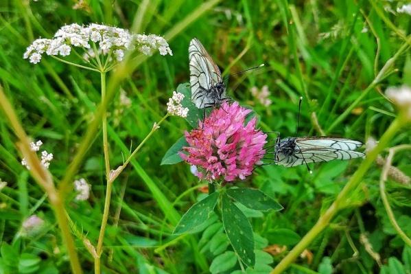 Сейчас в городе можно наблюдать десятки бабочек возле любого газона или клумбы