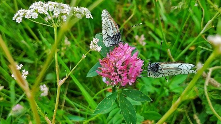В Новосибирск вторглись белые бабочки-вредители