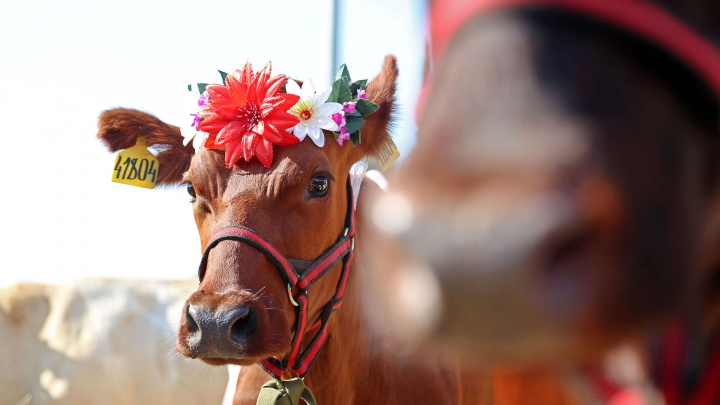 Корова напрокат: в Башкирии изменили законодательство для развития мясного скотоводства