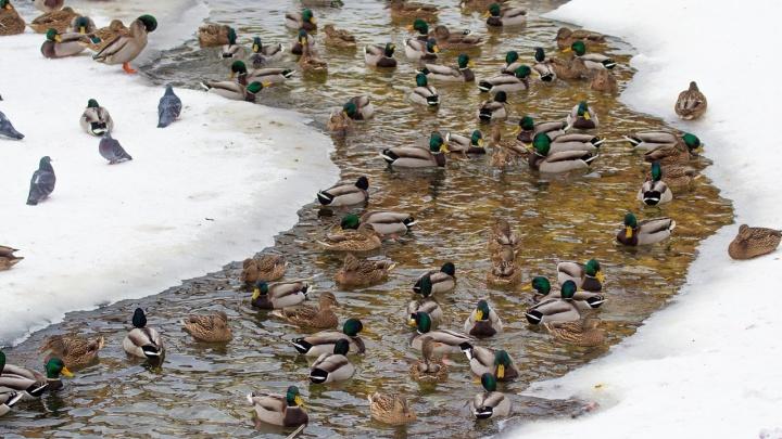 «Все утки будут в гости к нам»: в парке Металлургов самарцы сняли на фото птичьи термы