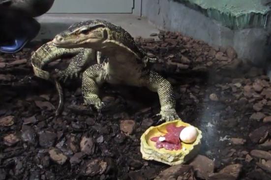 Вараны проглатывают мясо и яйцо, не разжёвывая их