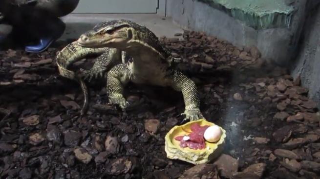 Видео: варанов и крокодилов накормили при публике в Новосибирском зоопарке