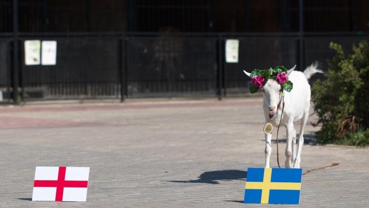 Самарский оракул ЧМ-2018 предсказала итог матча ЧМ между Швецией и Англией