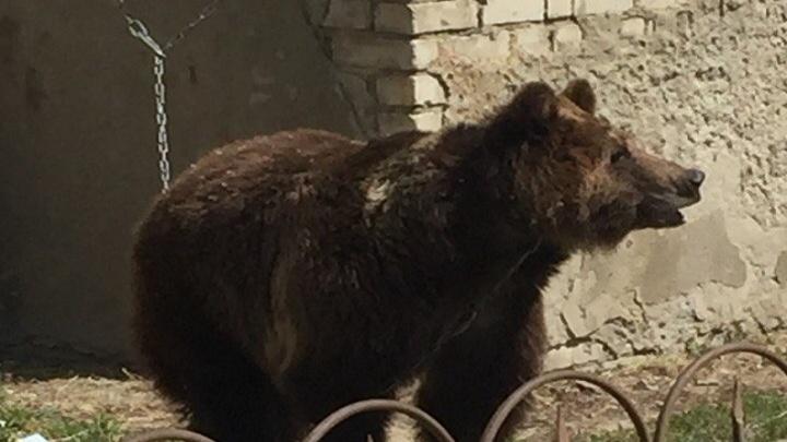 В цирке-шапито под Волгоградом медведь на арене напал на мужчину: видео