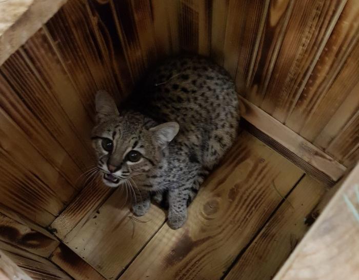 Одним из новых обитателей зоопарка стал молодой самец кошки Жоффруа