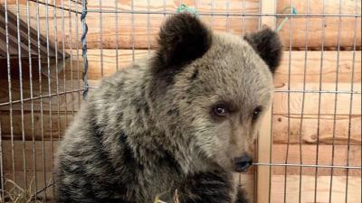 Миша — девочка: раненого медвежонка из Онеги отвезли в Санкт-Петербург и обследовали в ветклинике