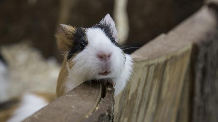 Вор в Башкирии похитил у пенсионера морскую свинку