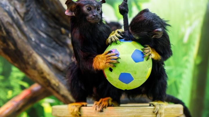 В Волгограде шустрых обезьянок назвали Дзюбой и Акинфеевым