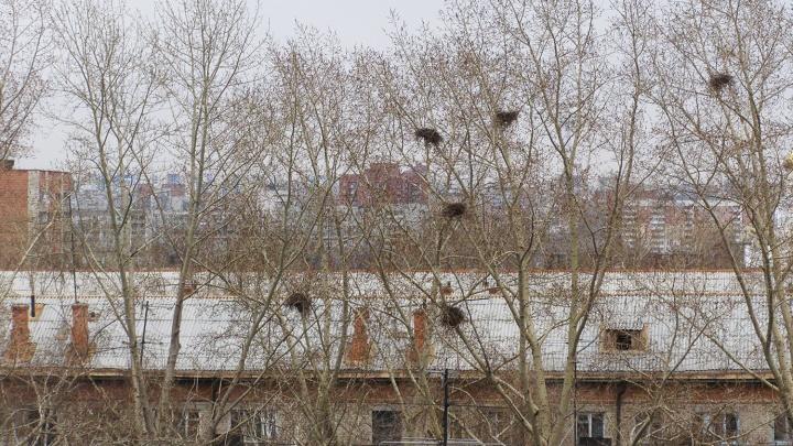 Не путайте с воронами: в Новосибирскую область прилетели робкие грачи