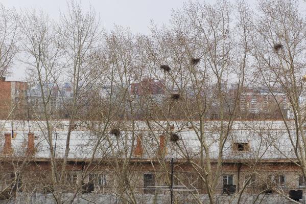 Грачи располагают свои гнёзда на деревьях