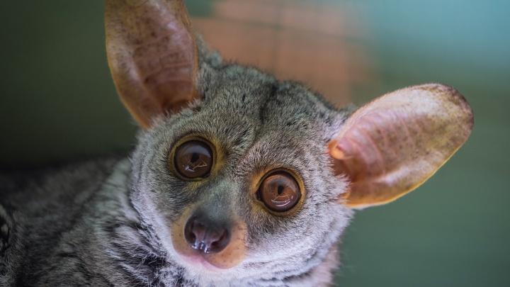 В зоопарке показали приматов, которые сворачивают уши в трубочку для тишины и кричат, как младенцы