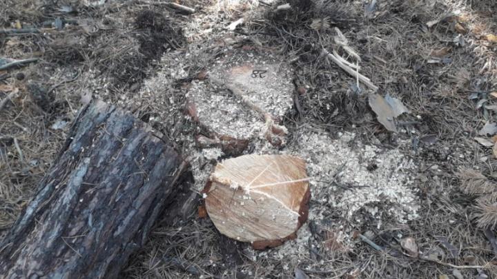 Зауралец получил реальный срок за незаконную вырубку 16 сосен