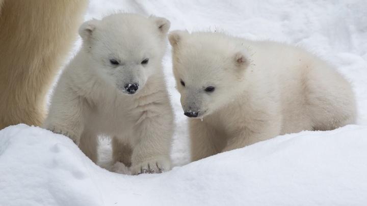 На кого больше похожи? Фотограф близко снял милых белых медвежат в зоопарке