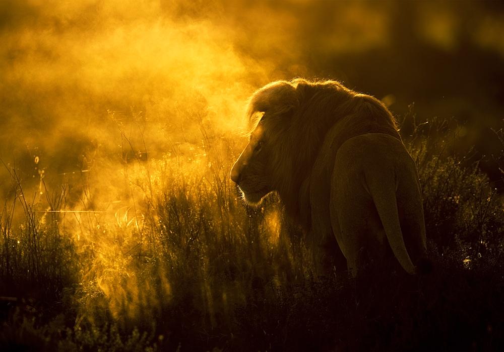 Царь зверей в тумане выглядит очень величественно