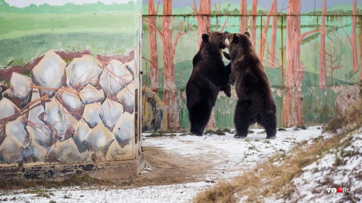Как на самом деле спят медведи: в зоопарке Умка и Топтыжка ушли в берлогу на зимовку